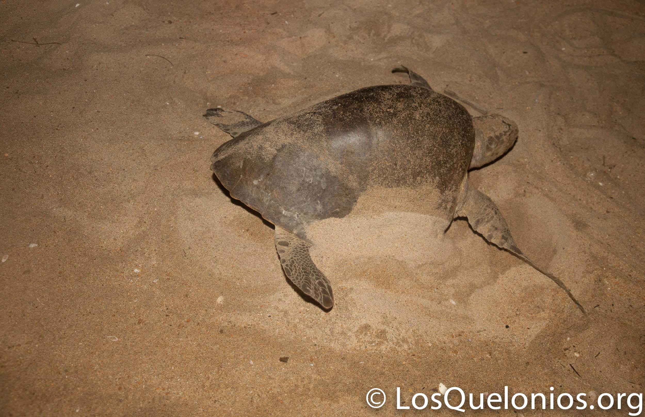Campamento Tortuguero Los Quelonios. Playa Ventura, Copala. Guerrero, México. LosQuelonios.org
