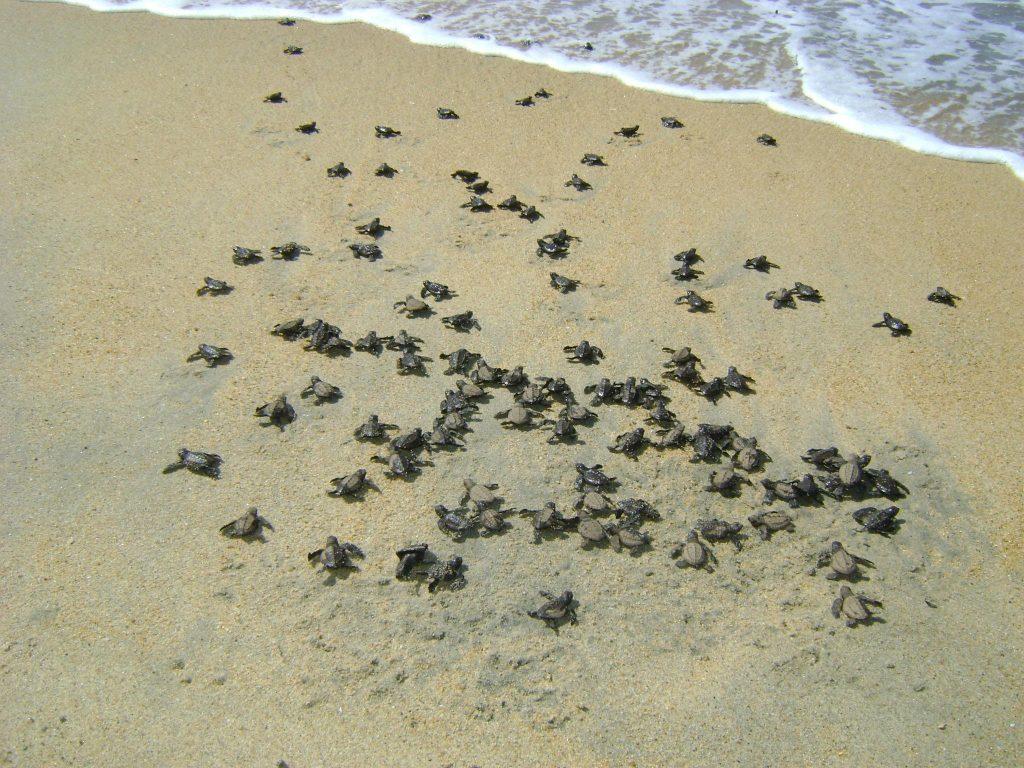 Campamento Tortuguero Los Quelonios. Playa Ventura, Copala. Guerrero, México - Bebés tortugas caminando hacia el mar.