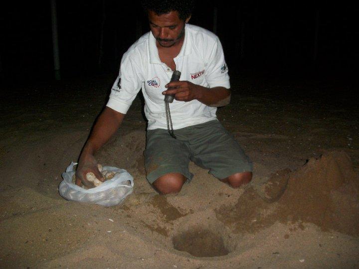 Campamento Tortuguero Los Quelonios. Playa Ventura, Copala. Guerrero, México - Depositando los huevos de tortuga en el vivero del campamento.