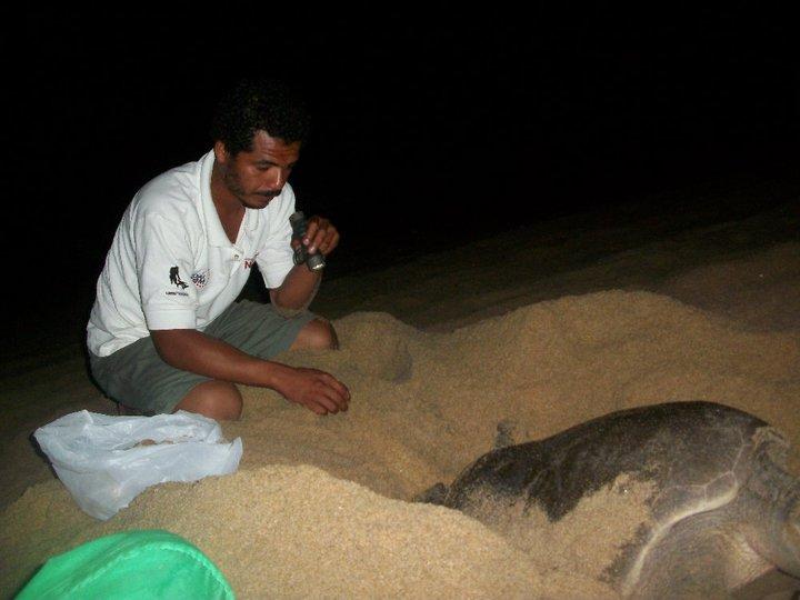 """Campamento Tortuguero Los Quelonios. Playa Ventura, Copala. Guerrero, México - Colectando los huevos de tortuga para """"sembrarlos"""" en el vivero del campamento."""