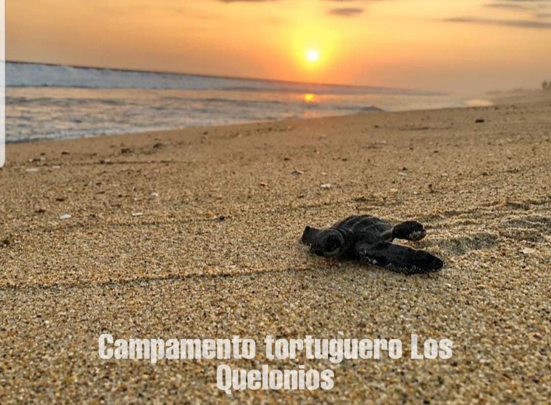 LosQuelonios.org - Tortuga bebé olivácea o golfina. Campamento Tortuguero Los Quelonios. Playa Ventura, Copala. Guerrero, México.